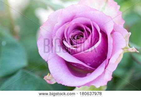 Close up purple rose flower blooming in the garden