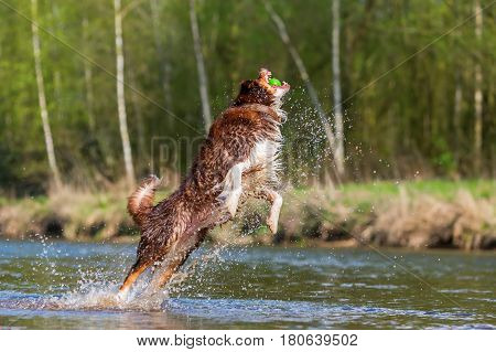 Australian Shepherd jumping for a ball in a river