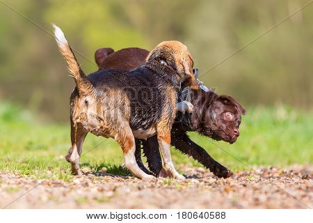 Labrador puppy and Beagle dog scuffling outdoors