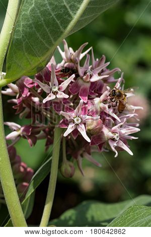 Bee on a swamp milkweed flower collecting nectar with its proboscis.