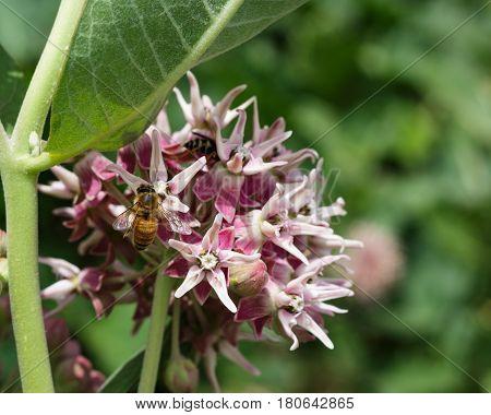 Stunning bee on a swamp milkweed flower having a drink