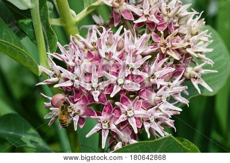 Hungry bee on a swamp milkweed flower foraging for nectar.