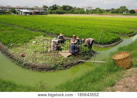 Thail gardener family working to keeping celery agricultural planting at Bangbuathong Nonthaburi Thailand 8 April 2017 10:29 am.
