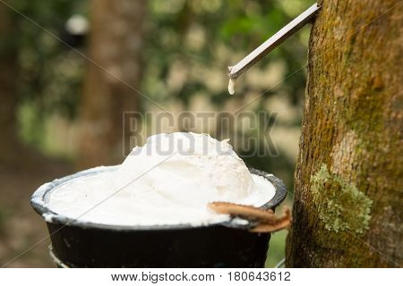 uice of rubber trees to collect in the cups for the production of rubber