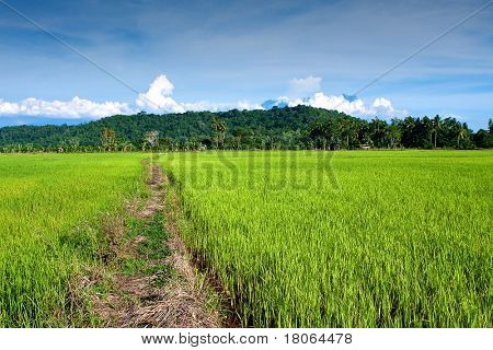Golden field of young paddy against the mountaineous range of Mount Kinabalu, Sabah Malaysia.
