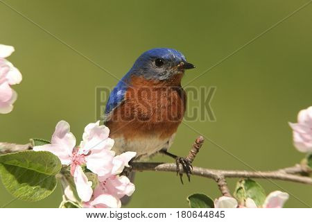 Male Eastern Bluebird (Sialia sialis) in an apple tree with flowers