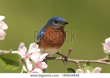 Male Eastern Bluebird (Sialia sialis) in an apple tree with flowers