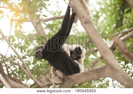 A white-handed gibbon (Hylobates lar) family sitting relax on tree.