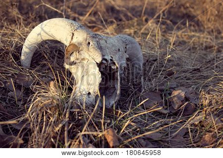 Skull of cattle on the grass. Domestic cattle.