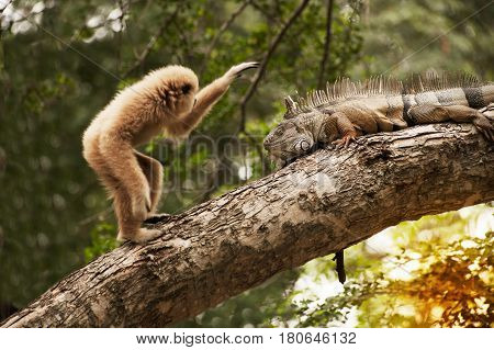 A white-handed gibbon (Hylobates lar) playing with gray iguana  on tree.