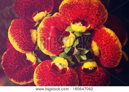 background nature Flower. Red flowers with yellow stripes. A bouquet of flowers Juan striped flowers.