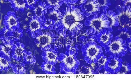 background nature Flower. Garden flowers. Blue Flower. Thailand chiangmai doi-angkhang