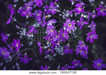 background nature Flower. Garden flowers. Bouquet Purple. Thailand chiangmai doi-angkhang