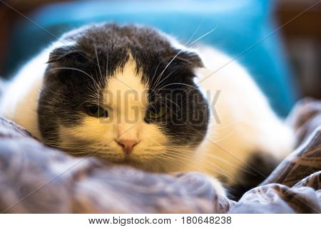 Serious lop-eared cat lying in the bed