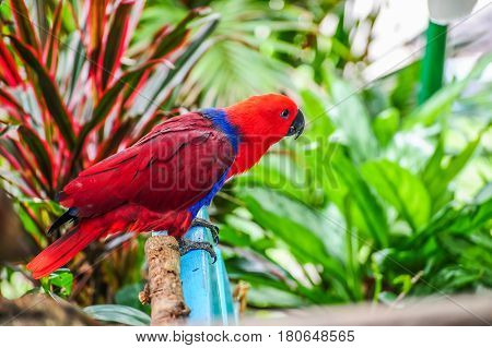 Red parrot holding on blue bench in garden.