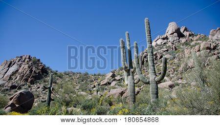 Row Of Saguaro Under Pinnacle Peak