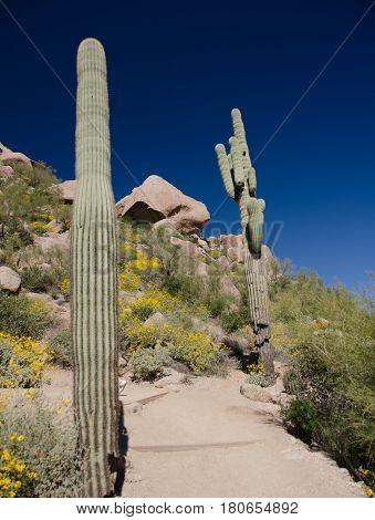 Trail Between Giant Saguaro On Pinnacle Peak
