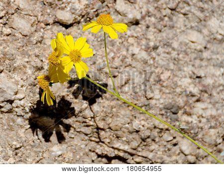 Brittlebush flowers on granite rock at Pinnacle Peak Arizona
