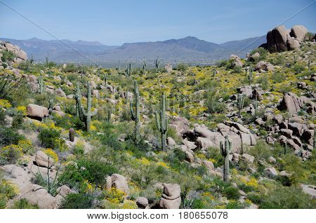 Forest Of Saguaro And Brittlebush Cover On Hills Near Pinnacle Peak