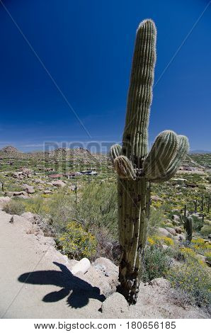 Impressive saguaro on Pinnacle Peak park trail Sonoran desert Arizona
