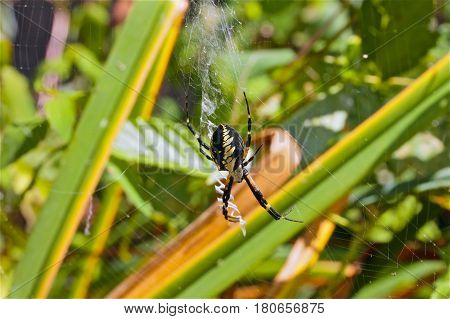 The Spider Species Argiope Aurantia Is Commonly Known As The Yellow Garden Spider, Writing Spider, C