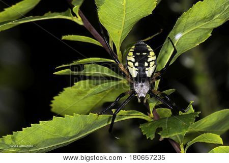 The spider species Argiope aurantia is commonly known as the yellow garden spider, black and yellow garden spider.