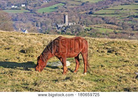 Dartmoor pony grazing above Widecombe in the moor