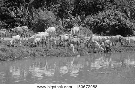 BLACK AND WHITE PHOTO OF COWS AT A RIVERBANK DRINKING WATER