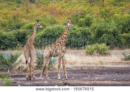 Giraffe in Kruger national park, South Africa ; Specie Giraffa camelopardalis family of Giraffidae