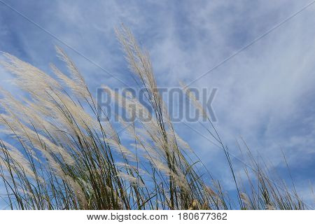 Grass flowers are waver by the wind on blue sky background.