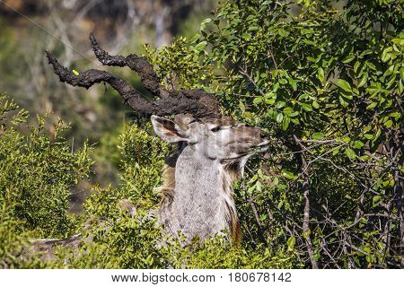 Greater kudu in Kruger national park, South Africa ;Specie Tragelaphus strepsiceros family of Bovidae