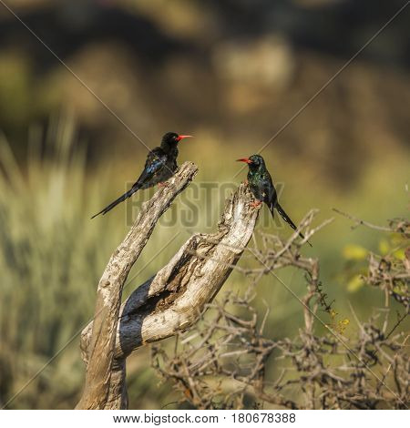 Green wood-hoopoe in Kruger national park, South Africa ; Specie Phoeniculus purpureus family of Phoeniculidae