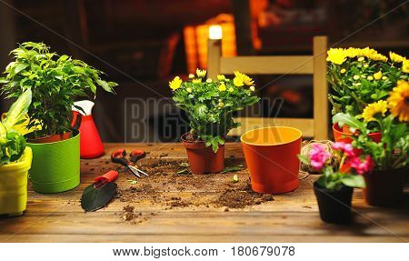 Transplanting pot flowers plant on the table at home