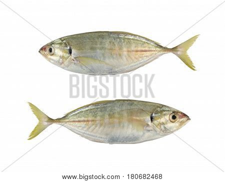 Bigeye trevally or Dusky jack or Great trevally sea fish isolated on white background and have clipping paths to easy deployment.