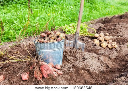 Freshly dug potatoes in metal bucket and shovel on the plantation in sunny summer day
