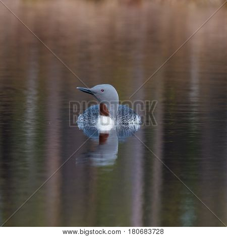 Small loon swimming in a little lake in Sweden 8 april 2017