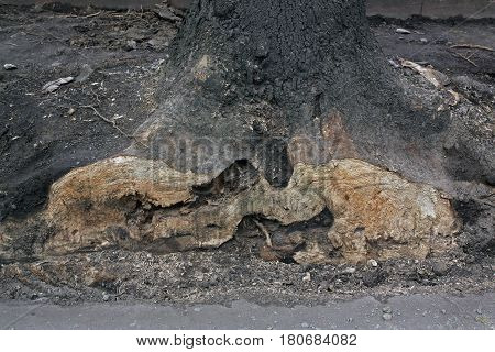 Circumcised barbarian roots of an old tree