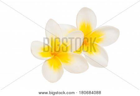 frangipani summer elegance flower isolated white background