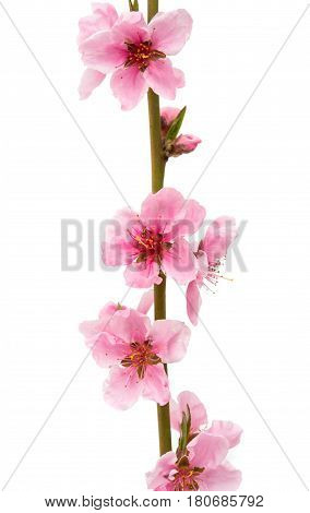 Pink peach flower isolated on white background