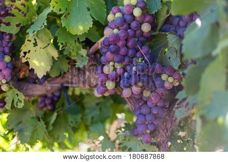 Close Up View Of Grapes Hanging On A Vine In The Breede Valley, A Wine Producing Area In The Western