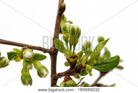 Bud with cherry flower isolated on white background