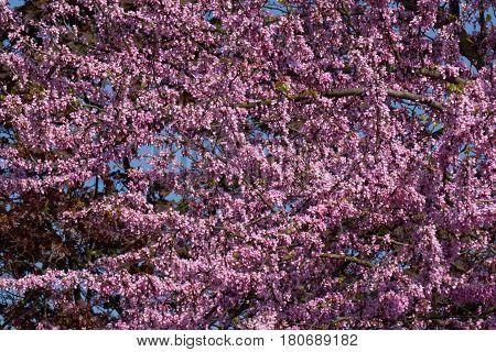 redbud siliquastrum in bloom in the garden