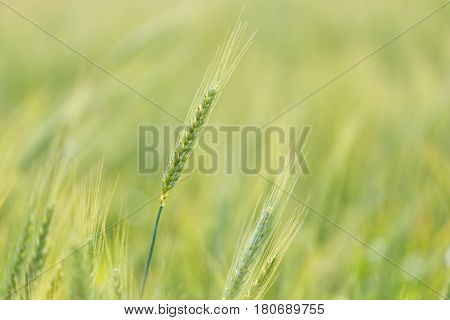 Close Up View Of Young Green Wheat Growing On A Farmland In The Swartland In The Western Cape Of Sou