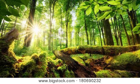 Green forest scenery with the sun casting beautiful rays through the foliage mossy lumber in the foreground