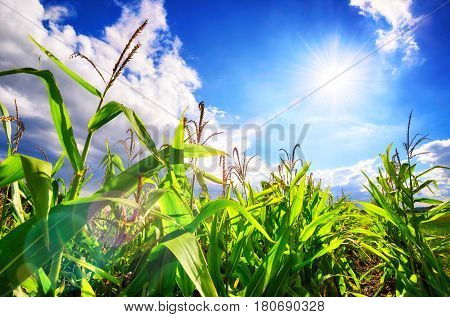Corn field with the bright sun blue sky white clouds and beautiful lens flare