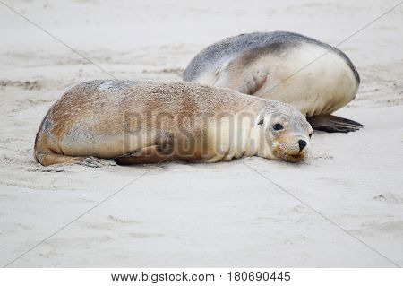 A tired Australian sea lion cub lying in the sand