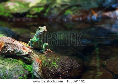 A Chinese Water Dragon sitting on a rock by the water
