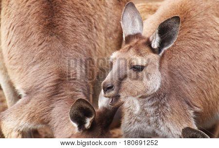 A portrait of a kangaroos on Kangaroo Island