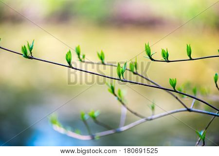 Beautiful burgeon , bud isolated with the water on the background
