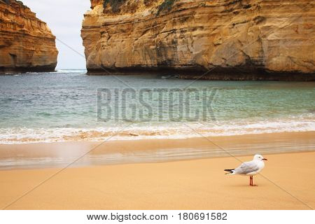 A seagull on the beach of Loch Ard Gorge in south of Australia
